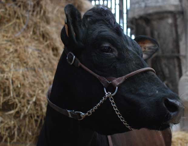 Filouse, avec son regard bovin, sera la reine deu salon international de l'agriculture qui commence aujourd'hui. Crédit Dailynord.