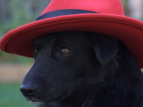 Avez-vous déjà vu un chien avec un capiau? Crédit Thefotios  via Wikimedia Commons