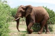 Le Petit Dico du Nord – Pas-de-Calais : éléphant